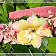 Hibiscusrose2